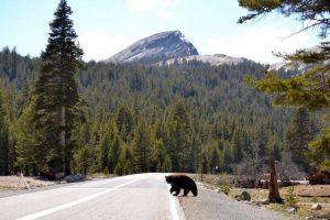 Black bear crossing Yosemite road