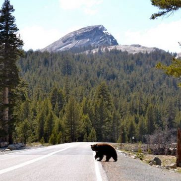 Red Bear = Dead Bear: Drive the Speed Limit in Yosemite